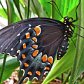 Spicebush Swallowtail  by Lindy Pollard