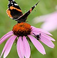 Spider And Butterfly On Cone Flower by Larry Ricker