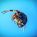Spider Blue by Bill Posner