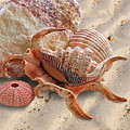 Spider Conch Shell On The Beach by Gill Billington