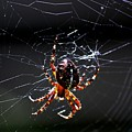 Spider by David Lane