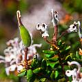 Spider Flower Seed Pod by Miroslava Jurcik
