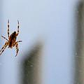 Spider Hello Panorama by Bonnie Follett