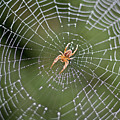 Spider In A Dew Covered Web by Bruce Block