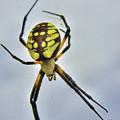 Spider King by Sam Davis Johnson