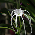Spider Lily by Judy Whitton