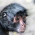 Spider Monkey Face Closeup by Jess Kraft