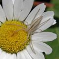 Spider On Daisy by Doris Potter
