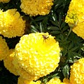 Spider On Marigolds  by Sharon Duguay