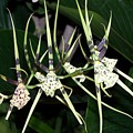 Spider Orchid by Joan Gal-Peck