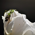 Spider Vs Bee On Rose by Clayton Bruster
