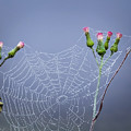 Spider Web by Zina Stromberg