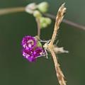 Spiderling Plume Moth On Wineflower by Paul Rebmann