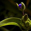 Spiderwort Bud by Daniel G Walczyk