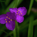 Spiderwort Couple by Douglas Barnett
