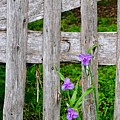 Spiderworts By The Gate by Gary Richards