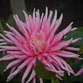 Spiky Pink by Sheila McDowell