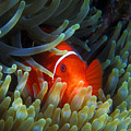 Spinecheek Anemonefish, Great Barrier Reef by Pauline Walsh Jacobson