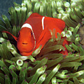 Spinecheek Anemonefish, Indonesia 2 by Pauline Walsh Jacobson