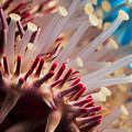 Spines Of A Crown Of Thorns Starfish by Dave Fleetham - Printscapes
