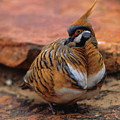Spinifex Pigeon by Bruce J Robinson