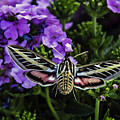Spinx Moth by Janet Aguila Krause