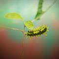 Spiny Oak Slug Moth 4 by Douglas Barnett