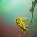 Spiny Oak Slug Moth 5 by Douglas Barnett