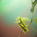 Spiny Oak Slug Moth 6 by Douglas Barnett
