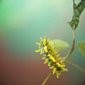 Spiny Oak Slug Moth 7 by Douglas Barnett