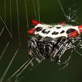 Spiny Orb Weaver by Paul Rebmann
