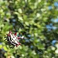 Spiny Orb Weaver Spider by Bob Slitzan