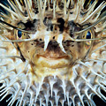 Spiny Puffer by Dave Fleetham - Printscapes