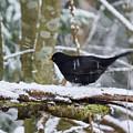 Splash. Eurasian Blackbird by Jouko Lehto