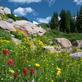 Splash Of Red In A Colorado Wildflower Meadow by Cascade Colors