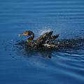 Splashing Cormorant by Rich Leighton