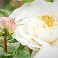 Splended Roses by Bob Martin