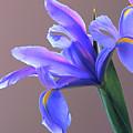 Splendid Iris by Byron Varvarigos