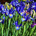Vivid Blue Iris Flowers by Cherie Cokeley