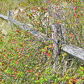 Split Rail Fence And Poison Ivy by Mother Nature