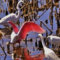 Spoonbill by Bill Hosford
