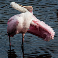 Spoonbill Preening Contortions by Richard Goldman