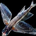 Spotfin Flyingfish by Dant� Fenolio
