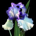 Spotlight On 'freedom Song' Bearded Iris by R V James