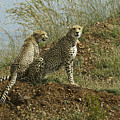 Spotted Cats by Michele Burgess