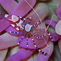 Spotted Cleaner Shrimp On Anemone by Ellen Muller