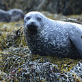 Spotted Coat Of A Harbor Seal by DejaVu Designs