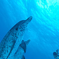 Spotted Dolphins by Ed Robinson - Printscapes
