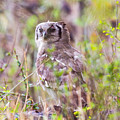 Spotted Eagle Owl  by Dave Whited