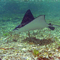 Spotted Eagle Ray by Li Newton